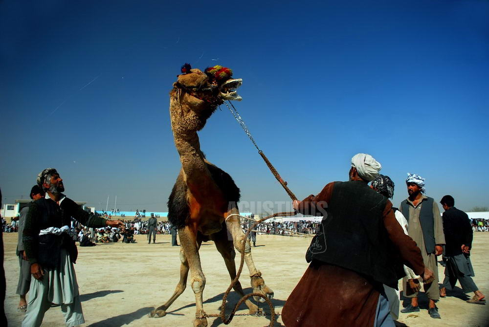 afghanistan-2008-mazar-sharif-naoruz-camel-fighting
