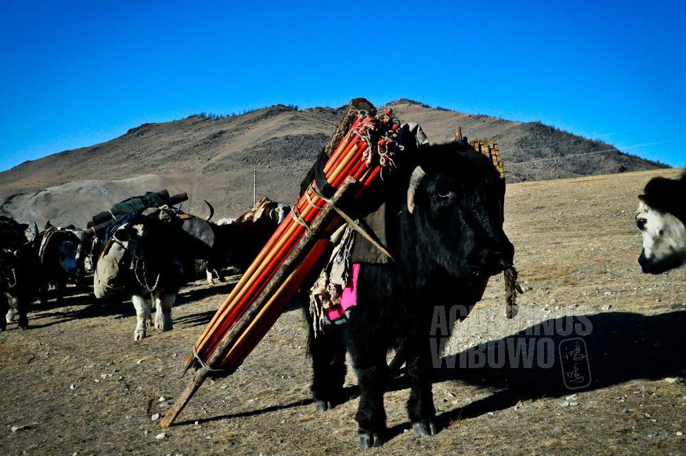 mongolia-2009-khovsgol-yak-moving-nomadic-yurt