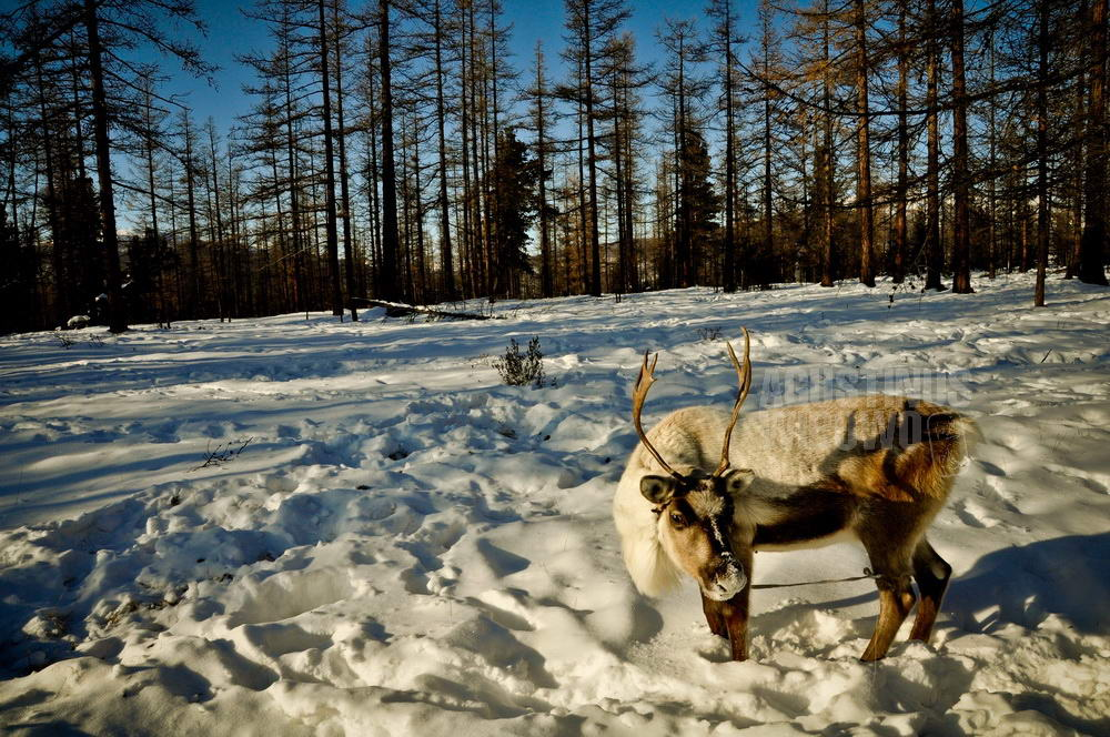 mongolia-2009-taiga-reindeer-snow-forest
